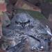 Baby Great Horned Owl Crop