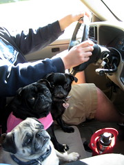 On the way home from the vet the pugs just look pissed.