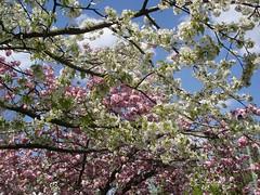 Heaven (langkawi) Tags: pink white ilovenature spring rosa loveit cherryblossom sakura langkawi weiss frühling blüten kirschblüte naturesfinest blueribbonwinner abigfave