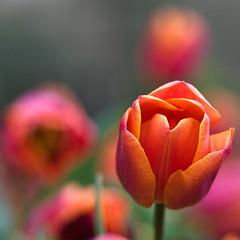 <a pithy title goes here> (~~Lou~~) Tags: pentax bokeh tulip getty flowersadminfave k20d ljhphotography colorsofthesoul flowermacrosgroup thankstoeachofyouforyourvisitsinvitesandkindcomments louhablas crowdmedia ljhphoto