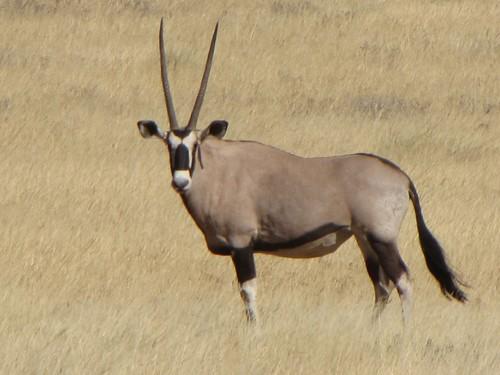 Damaraland: Oryx