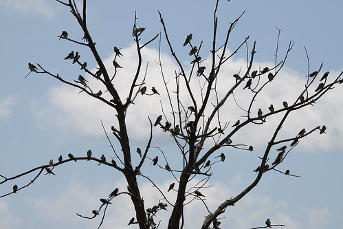Tree of Tree Swallows