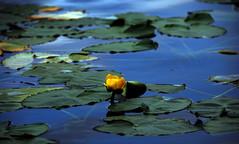 yello bird (Rick McGrath) Tags: lake abstract waterlilies canadagoose cranberrylake submergedwood