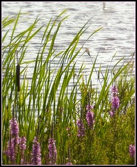 Feel the Sun and Breeze (Stephanie'sBestShots) Tags: flowers summer usa nature water grass pond massachusetts newengland marsh ripples breeze newburyport plumisland