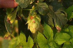 Withered hops