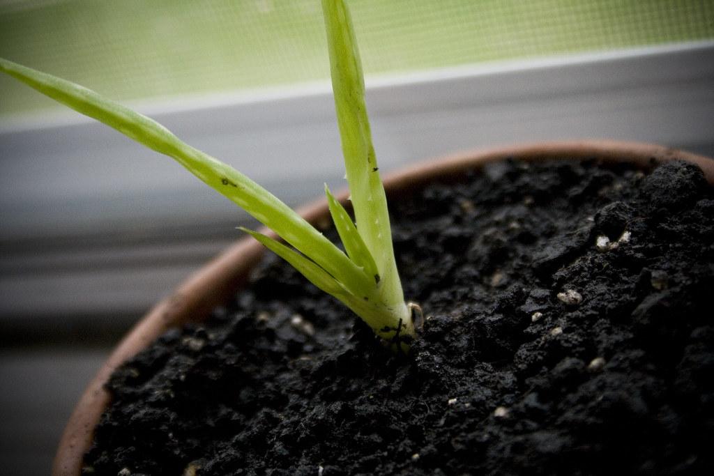 baby aloe plant