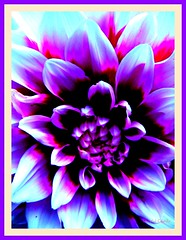 it is a new day (IDIAY) Tags: life dahlia white purple dalia newday vivir nuevoda moradayblanca