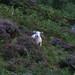 Lamb in Heather
