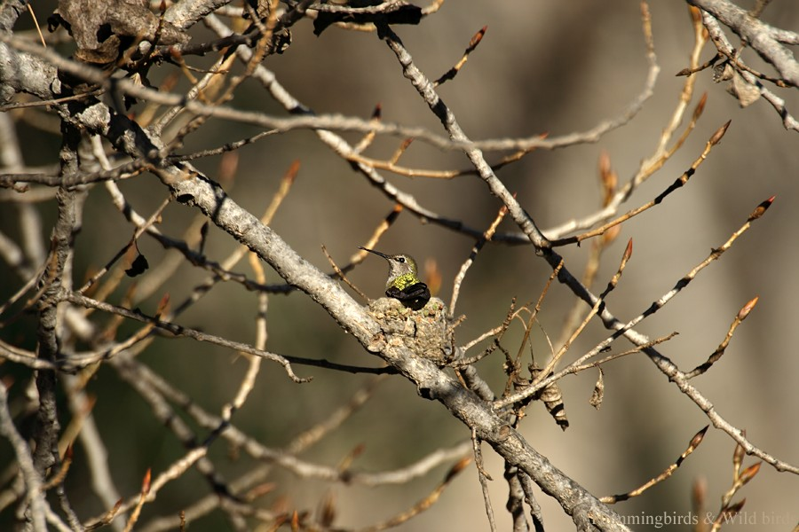 Anna's Hummingbird nest091-6