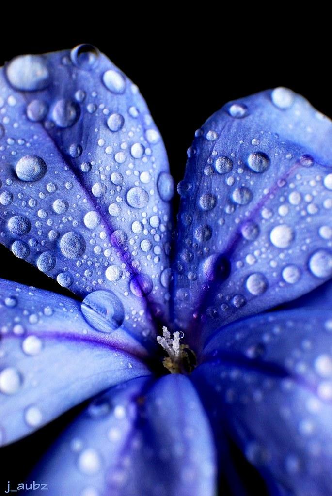 Blue Flower - Plumbago