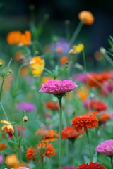 (withUibelong) Tags: park pink flowers red orange green nature colors garden colorful baltimore zinnia cosmos sherwoodgardens withuibelong