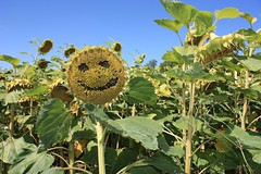 :-) (yom1) Tags: flowers france flower fleur smile fleurs canon countryside europe country humour smiley sunflowers sunflower msn lorraine campagne tournesol smileys tournesols meuse blague souriant eos450d emoticones efs1855is emoticone barrois villerslesec yom1