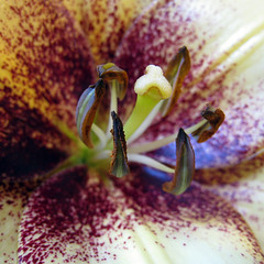 freckles can be very attractive (Lulybelle) Tags: macro lily smorgasbord inspiredbylove macroflowerlovers thebestofday gnneniyisi gununeniyisi flowersarefabulous doesntsmell