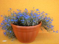 Like A Framework (Girlwithepearlearring) Tags: flowers blue summer yellow nikon estate blu like croatia giallo di coolpix flowerpot framework fiori croazia 2009 vaso s210