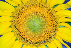 Girasole (Renzo Ferrante) Tags: macro nature yellow colours natura giallo sunflower colori 2009 girasole follonica achallengeforyou renzoferrante