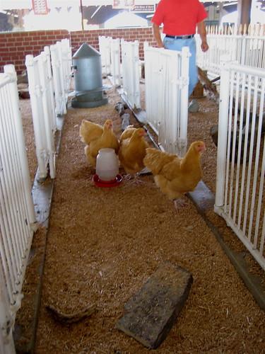 big hens