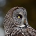 Great Gray Owl Portrait