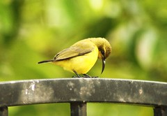 #The Bird Series - Sleepy & Exhausted! ( Rizalman Kasman Photography) Tags: bird exhausted burung penat platinumheartaward photorater