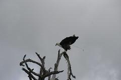 African Fish Eagle shitting - Selous Game Reserve, Tanzania