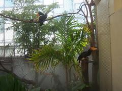 Philadelphia Zoo - Rhinoceros Hornbill (fkalltheway) Tags: bird birdhouse hornbill philadelphiazoo rhinoceroshornbill bucerosrhinoceros fkalltheway mcneilaviancenter