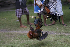 IMG_3787 (Hunter Mason1) Tags: chicken asia philippines bohol rooster cockfight pamilacan