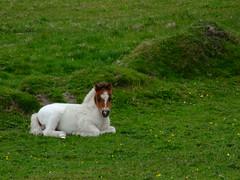 """Shetland Ponies (nz_willowherb) Tags: see scotland flickr tour visit ponies shetland unst saxa to"""" """"go vord visitunst seeunst gotounst visitshetland seeshetland goptoshetland"""