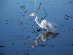 (Red Rooster...) Tags: bird nature birds reflections reflecting texas tx aaron reflected greategret kovach brazosbendstatepark repeated ardeaalba egrettaalba houstonist adkovach onlythebestare publandsnw11