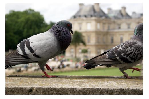 8_mai_pigeons_4783
