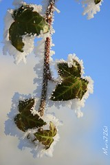 Ivy leaves (maris7261) Tags: blue sky white snow ice leaves canon blauw sneeuw ivy blaadjes lucht wit klimop ijs eos400d maris7261