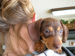 DSCN0480 (cpup22) Tags: dog puppy gracie chocolate tan dachshund doxie puppie dachshundpuppy chocolateandtan