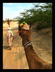 Camel Shoot with a Camel Ride (ahsan.amin (Work Work And Work)) Tags: canon culture powershot camelride a560 cholistan darawar derawar flickrdiamond drawar canonpowershota560 ahsandrawar choulistan sanshaddrawar ahsanderawar drawarcamel