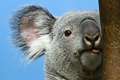 Koala (sparky2000) Tags: nature animal animals mammal gold zoo scotland edinburgh searchthebest natural scottish koala mammals soe naturalworld animalkingdom mammalia australasian edinburghzoo naturesfinest blueribbonwinner  phascolarctoscinereus golddragon animalkingdomelite mywinners abigfave platinumphoto impressedbeauty ultimateshot diamondclassphotographer sparky2000 overtheexcellence theperfectphotographer goldstaraward stuartreynolds  stuartrobertsonreynolds robersonreynoldsphotography