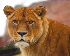Lion eyes...... (law_keven) Tags: england cats animals cat king dof bokeh lion kitty essex lioness colchester bigcats colchesterzoo specanimal