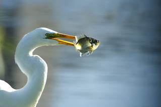 Great Egret with fish in it's beak