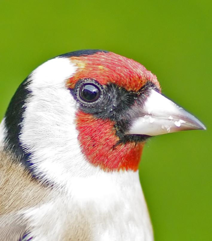 Goldfinch head study