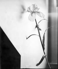 Window Light (Life on Film) Tags: blackandwhite bw stilllife flower film paper 8x10 diafine largeformat viewcamera directpositive autaut efkepositivepaper incamerapositive