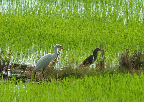 bird at the paddyfield