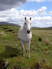 Connemara pony (hehaden) Tags: ireland horse animal pony connemara planètecheval