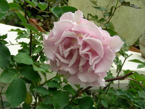士林官邸-粉玫瑰