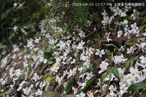 09.04.19 一探土城承天寺桐花花況 (13)