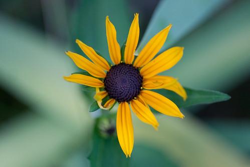 Mini-Sun Flower