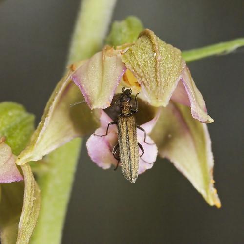 Mangeurs de pollen à orchidées 3737585159_79f517fd1c