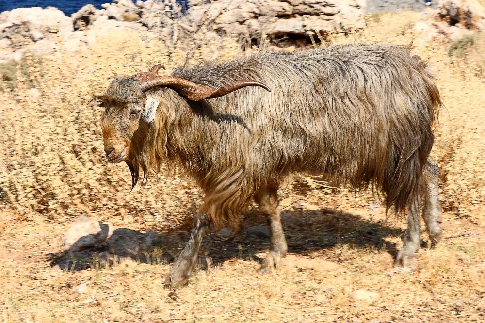Cretan Images - Goats