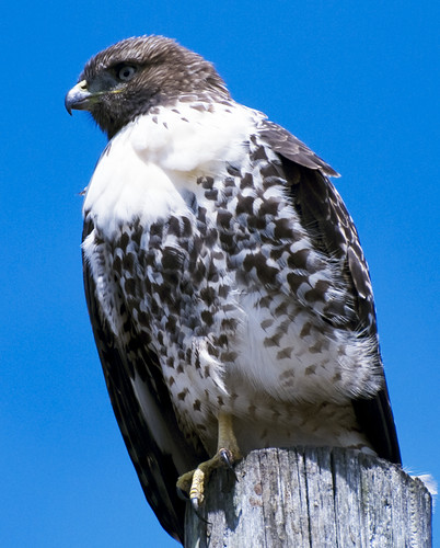 Hawk at Redondo Beach