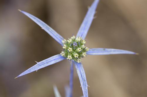 Flower Macro (Zabitan Hike, Israel)