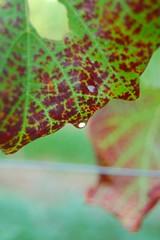green & red (auweiakaka) Tags: leaf vine weinblatt grapevineleaf