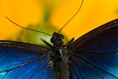 Blue Morpho on Susan (Canicuss) Tags: blue black flower macro yellow festival contrast butterfly wings eyes bright august lepidoptera scales morpho antenna powellgardens shimmer yellowandblue canicuss 2009sonya100 elmmissouri