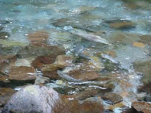 Salmon Run on Sheep Creek (2)