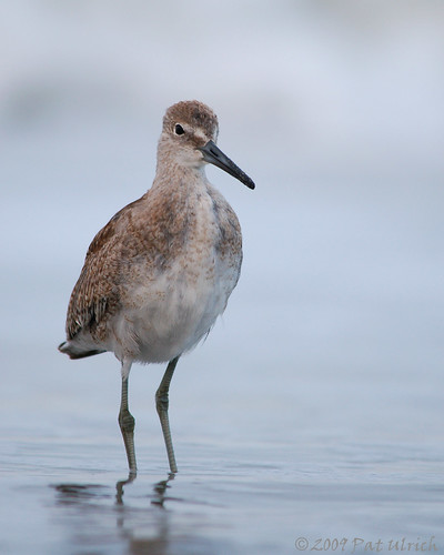 Friendly willet