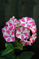 Pink & White (Chris_West) Tags: pink flowers plants white plant flower nature fence garden outside outdoors leaf stem outdoor petal growth